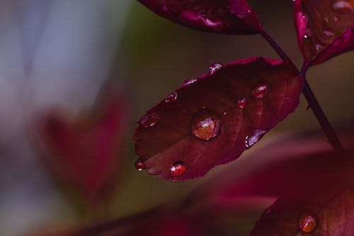 Free stock photo of autumn leaves, macro photo, red leaf, water drop