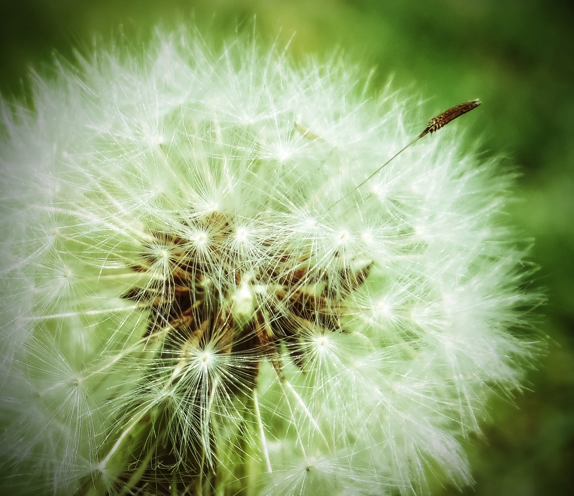 Macro Shot of Dandelion