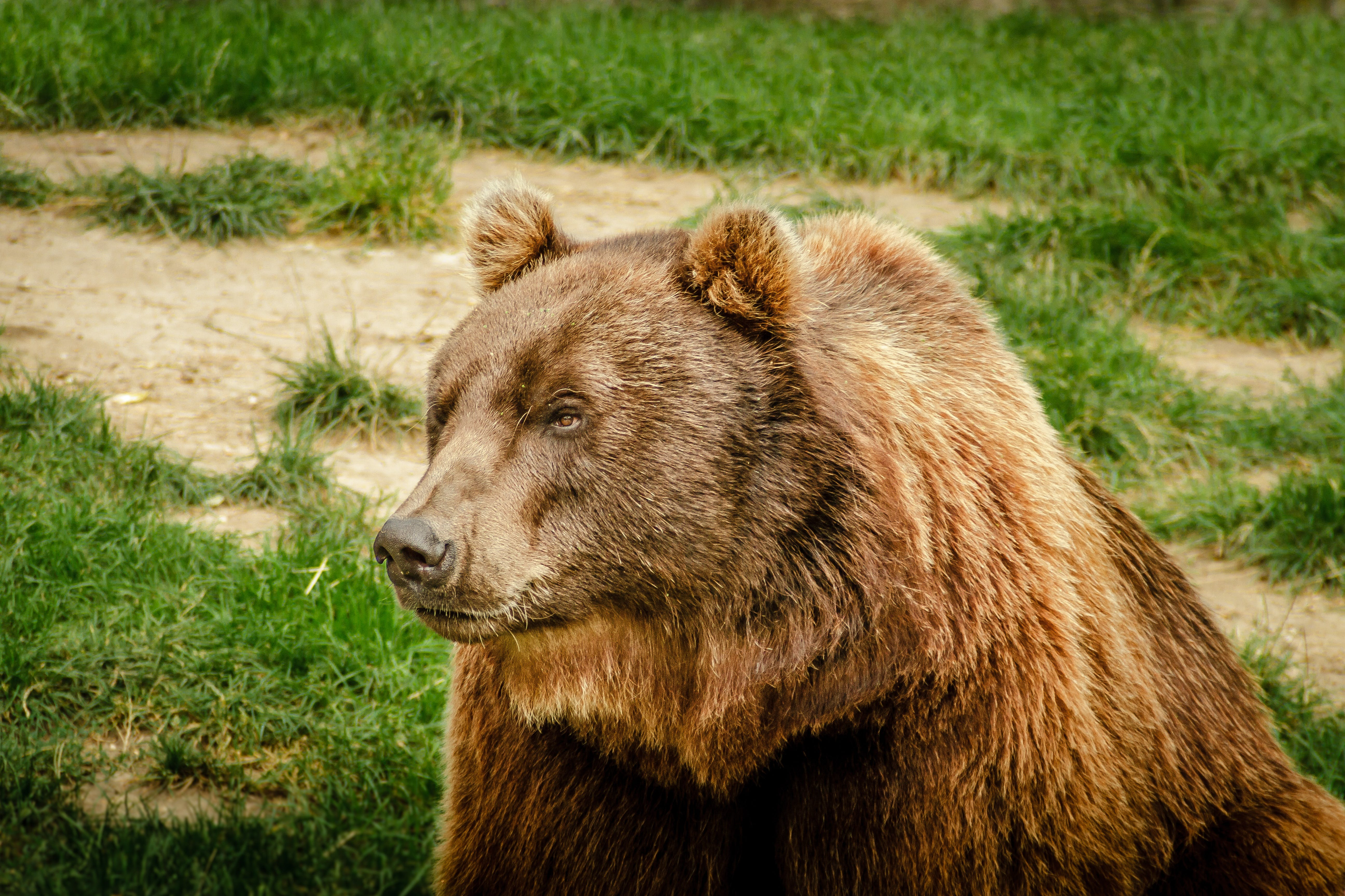 Free stock photo of animal, bear, brown bear, dangerous