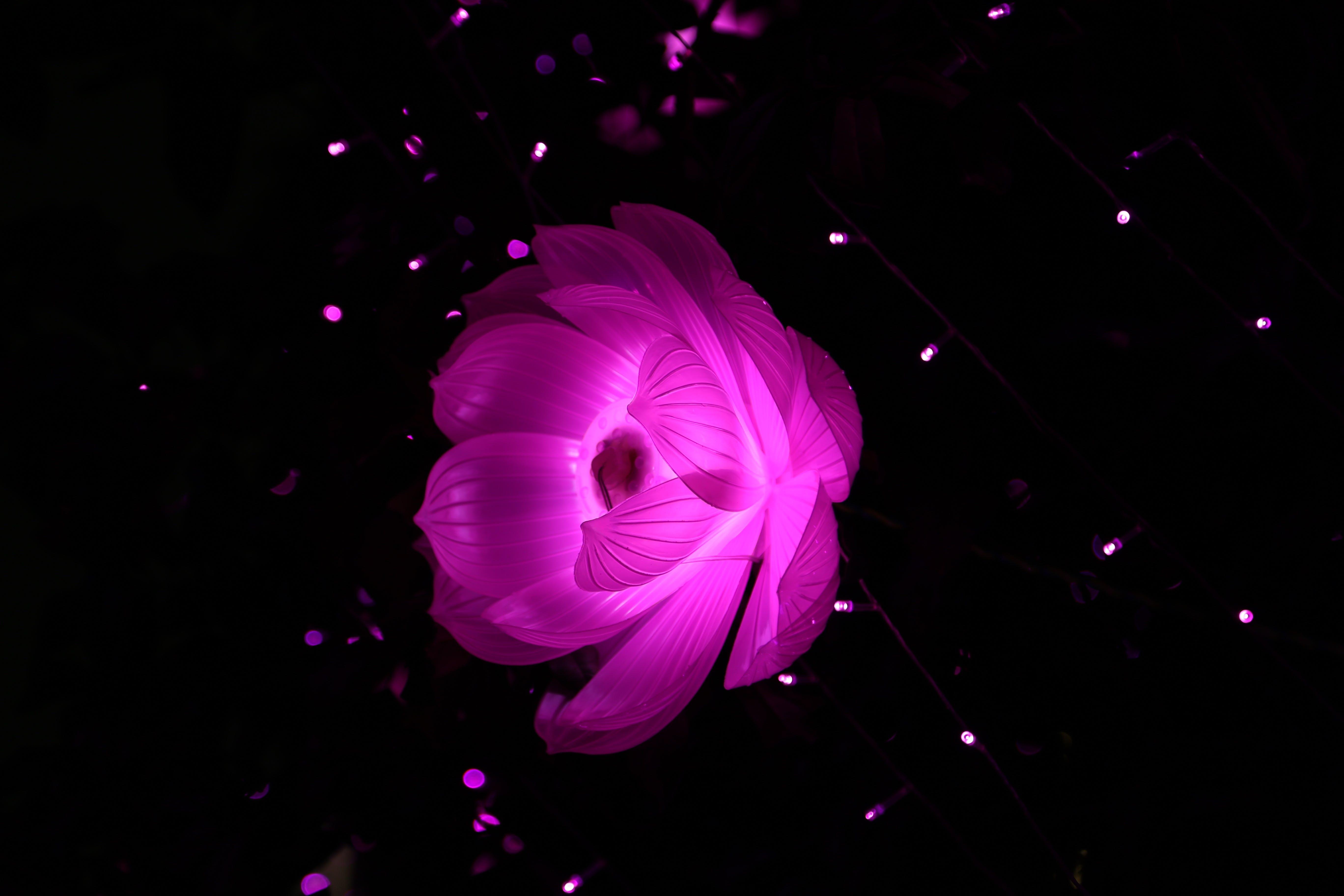 Purple Lotus Flower in Bloom
