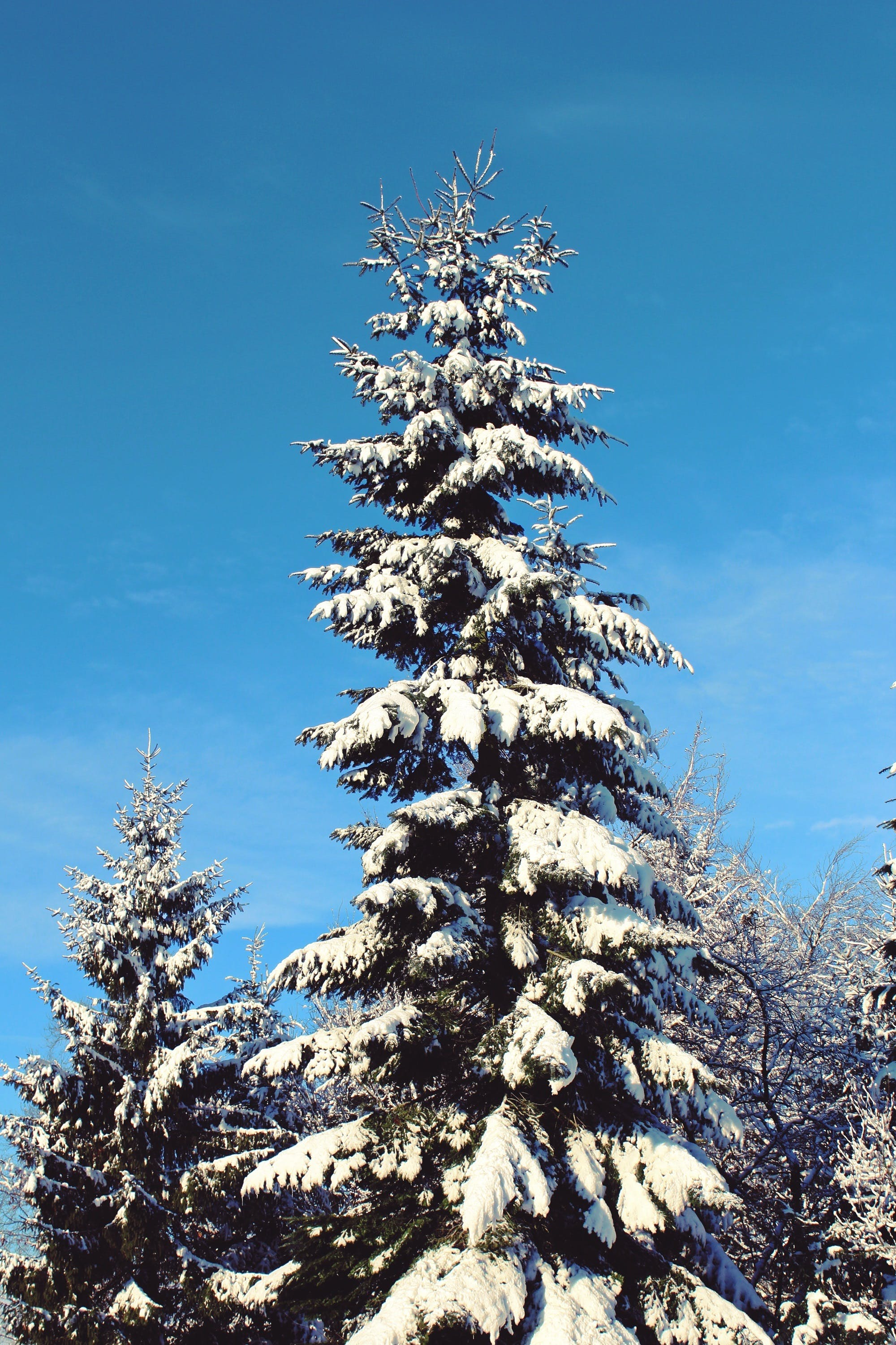 blue, cold, conifer