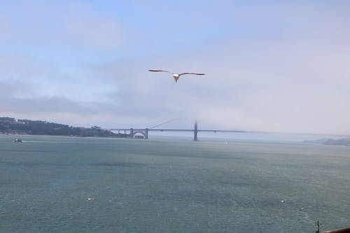 Free stock photo of foggy, golden gate bridge, san francisco bay, seagull