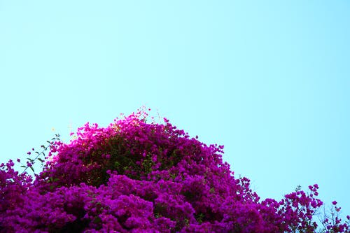 Free stock photo of blooming flowers, blue sky, purple