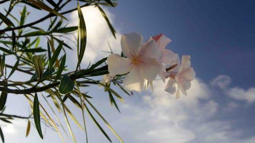 夏天, 夹竹桃 的 免费素材照片