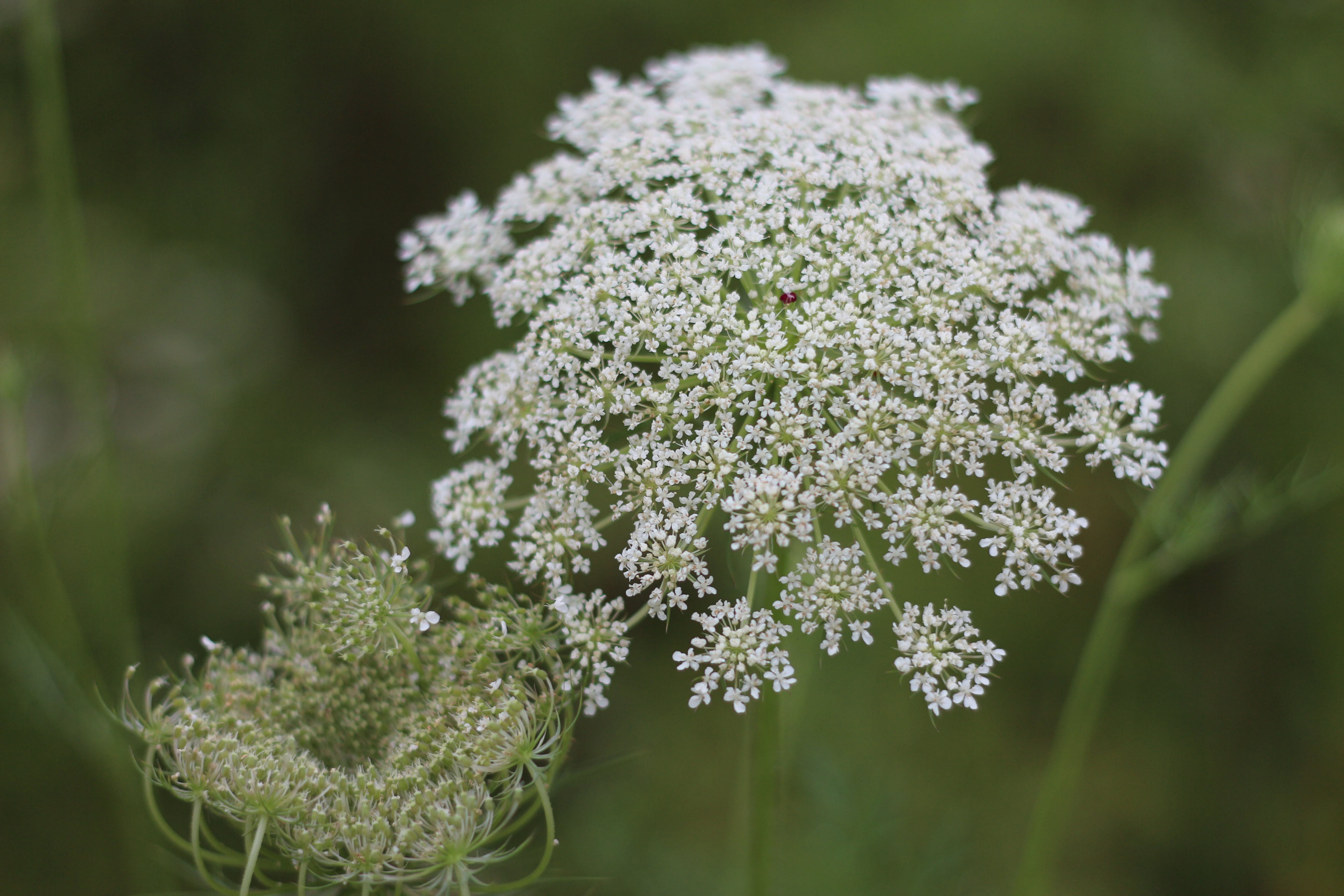 Free stock photo of dream, fresh, princess anne's lace, wild carrot