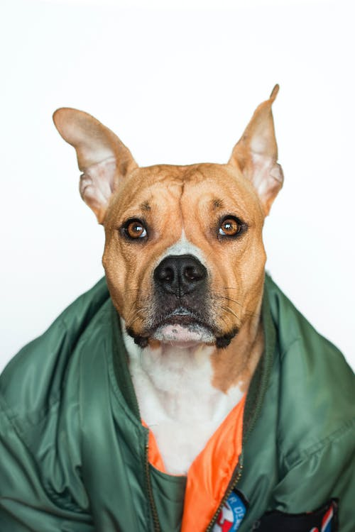 Close-up Photo of Brown Boxer Dog in Green Bomber Jacket In Front of White Background