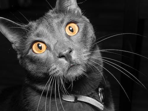單色, 猫眼, 貓, 黑與白 的 免费素材照片