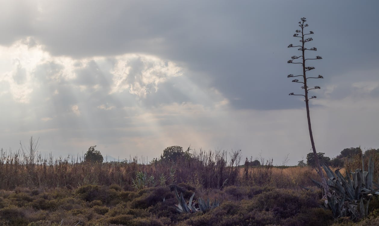 agave americana, americana, desertic