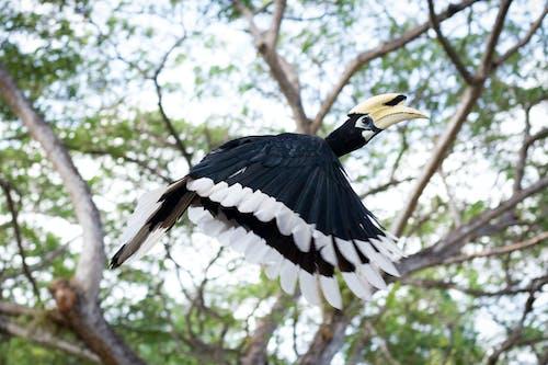 Kostnadsfri bild av fågel, näshornsfågel, orientalpiedhornbill