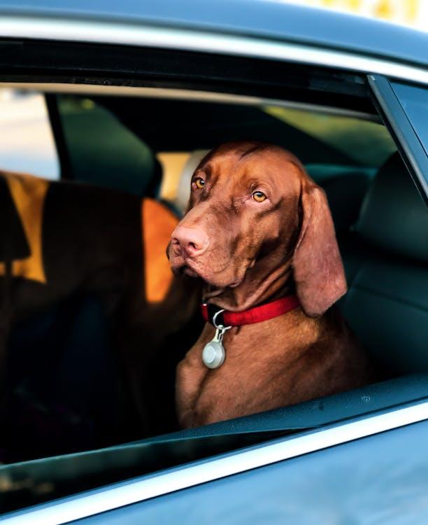 Short-coated Brown Dog Sitting inside a Car