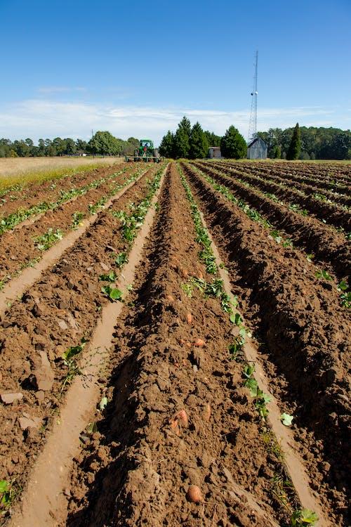 คลังภาพถ่ายฟรี ของ agbiopix, การเกษตร, พืชผล, มันฝรั่งหวาน