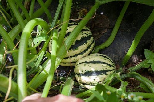 คลังภาพถ่ายฟรี ของ agbiopix, การเกษตร, ผลไม้, เมลอน