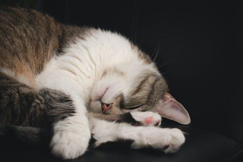 Free stock photo of sleepy cat