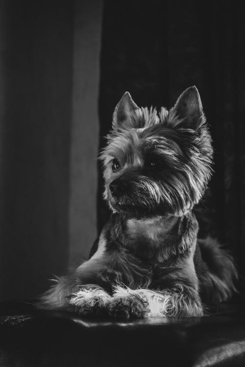 Grayscale Photo Of Yorkshire Terrier
