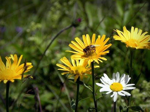 Ilmainen kuvapankkikuva tunnisteilla alm, kukkaniitty, luonnonkukat, mehiläinen