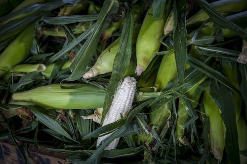 คลังภาพถ่ายฟรี ของ agbiopix, การเกษตร, ข้าวโพด, ตลาดของเกษตรกร