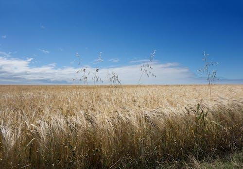 Darmowe zdjęcie z galerii z błękitne niebo, gospodarstwo, kukurydza, pole