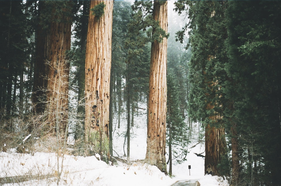 forest, snow, trees