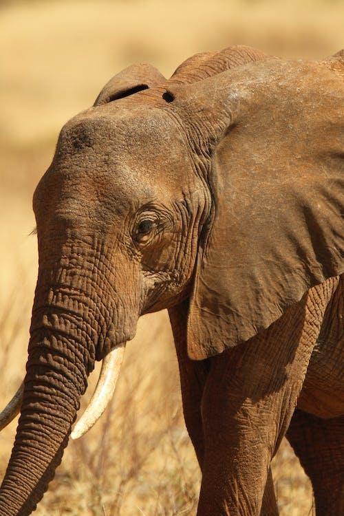 Бесплатное стоковое фото с африканский слон, выборочный фокус, дикая природа, дикий