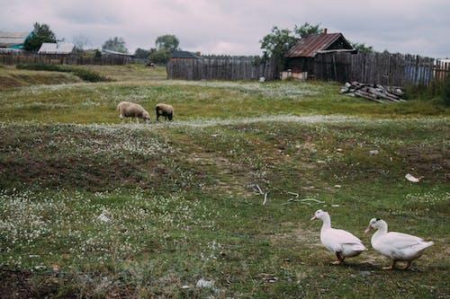 Fotobanka sbezplatnými fotkami na tému dedina, domáce zvieratá, prírodný, stromy