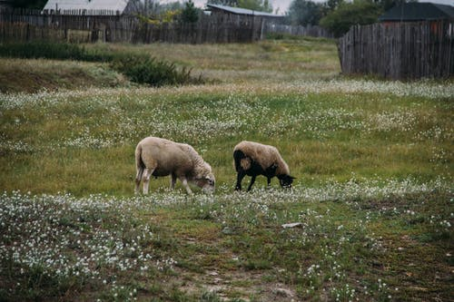 Photo Of Two Sheep Eating Grass