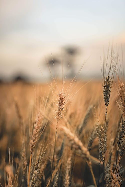 Close-up Of A Wheat Plant in A Cropland