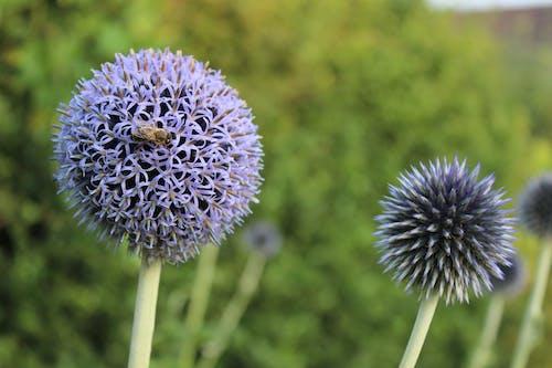 คลังภาพถ่ายฟรี ของ echinops, ดอกไม้, ดอกไม้สีม่วง, ผึ้ง