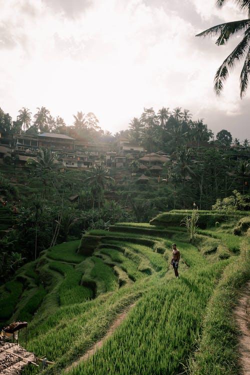 Foto d'estoc gratuïta de a l'aire lliure, agricultura, arròs, camp