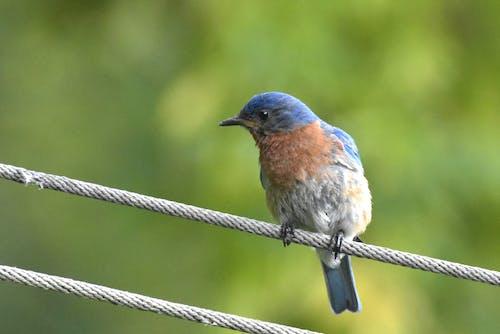 Foto stok gratis bluebird timur, bokeh, duduk di atas kain, latar belakang hijau sedang kabur.