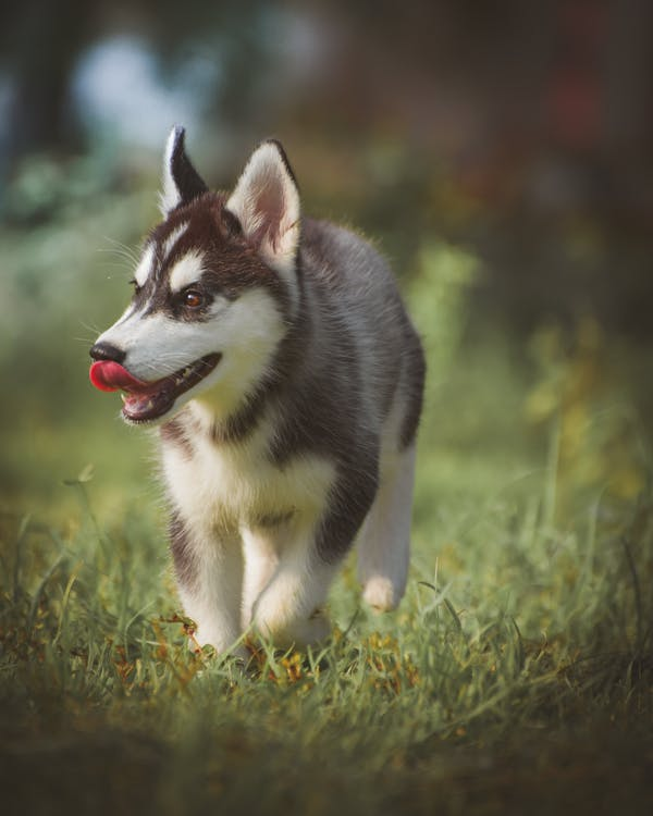chó, cho husky Si-bê-ri-a, cỏ