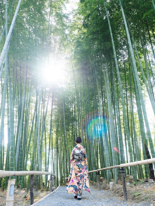 Woman Wears Kimono Walks Between Bamboo Trees