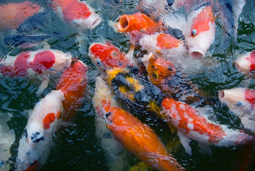 School of Koi Fish on Body of Water