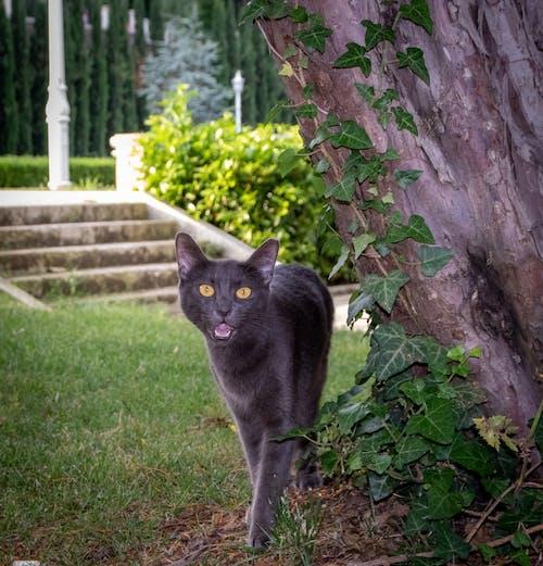 Ingyenes stockfotó állat, fekete macska, nagy macska témában