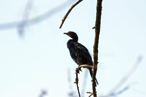 Darmowe zdjęcie z galerii z gałąź, gałąź drzewa, kormoran, na stojąco