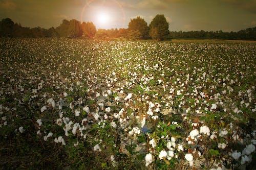 คลังภาพถ่ายฟรี ของ agbiopix, การเกษตร, ตะวันลับฟ้า, ฝ้าย