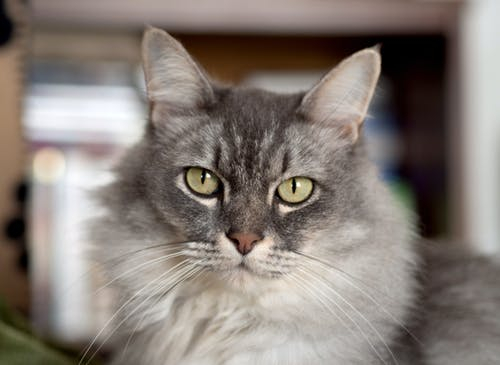 Darmowe zdjęcie z galerii z bokeh, futro, kot, piękne oczy