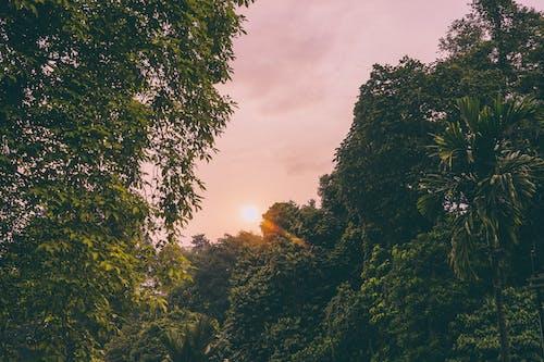 Foto profissional grátis de árvores, árvores altas, bogor, céu rosa