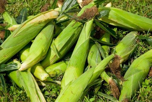 คลังภาพถ่ายฟรี ของ agbiopix, การเกษตร, ข้าวโพด, พืชผล