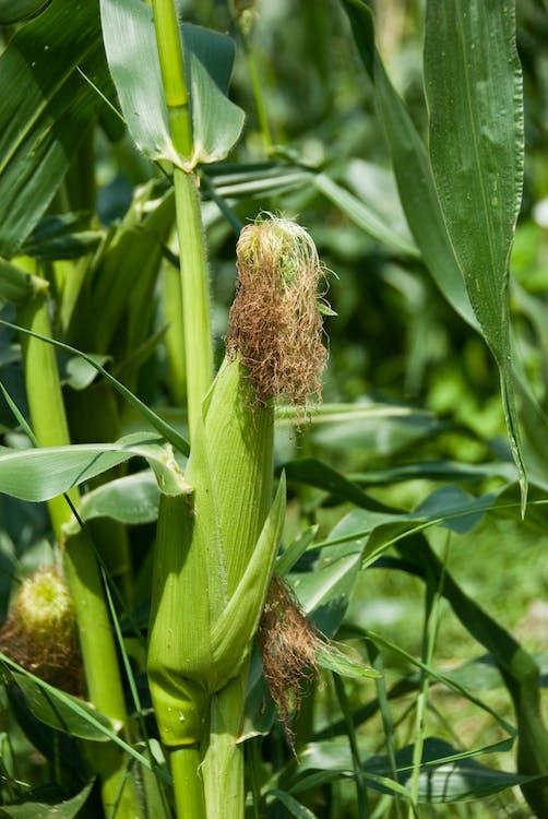 agbiopix, hřiště, kukuřice