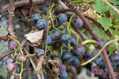 คลังภาพถ่ายฟรี ของ agbiopix, สีม่วง, องุ่นป่า