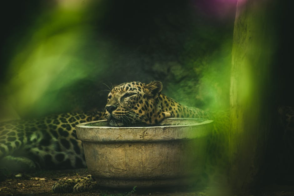Brown and black leopard close up photography
