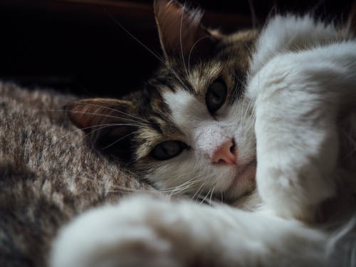 Free stock photo of bokeh, cat, close- up, fluffy
