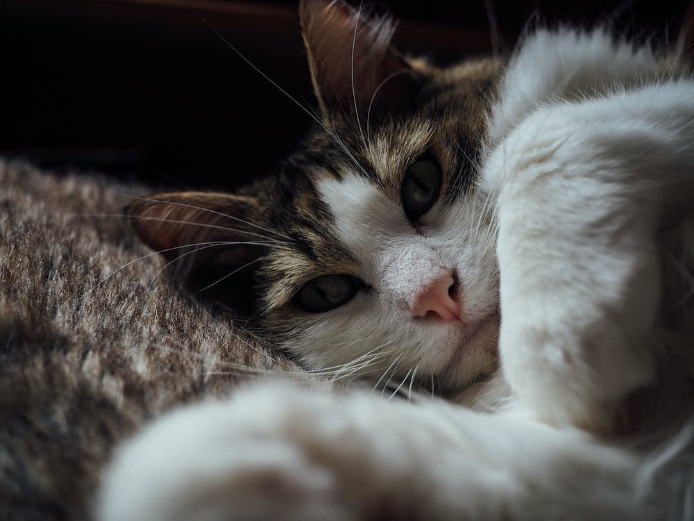 Free stock photo of bokeh, cat, close- up