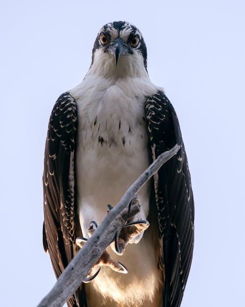 Fotos de stock gratuitas de águila pescadora, ojos, pájaro
