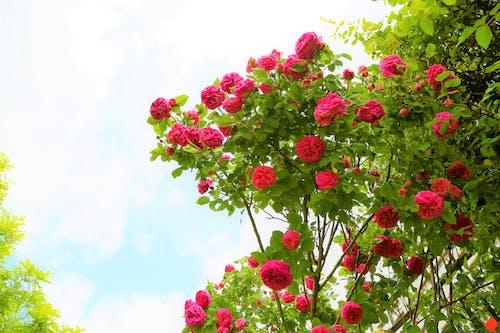 Foto stok gratis alam, berwarna merah muda, cinta, hijau