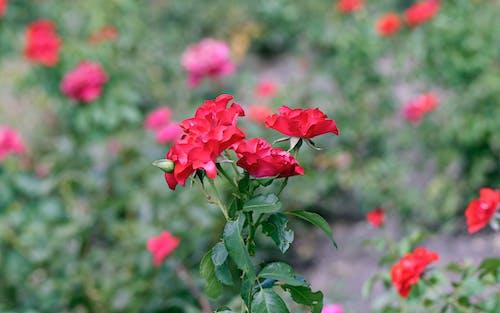 Darmowe zdjęcie z galerii z czerwone róże, kwiaty, lato, natura