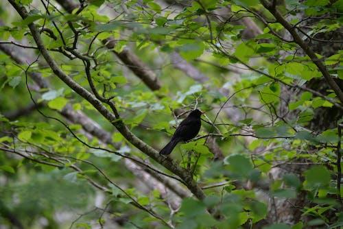 oiseau noir, アーバー, オイゾー, シフルの無料の写真素材
