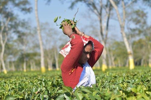 Безкоштовне стокове фото на тему «assam, індійський, чай»