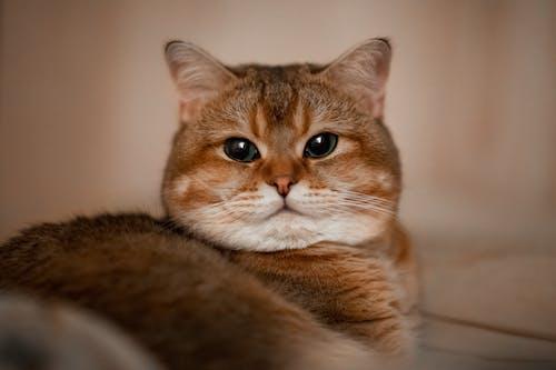 Безкоштовне стокове фото на тему «дивиться, домашній кіт, кішка, погляд»