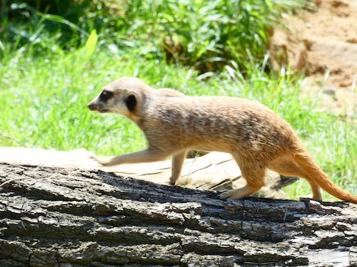 Free stock photo of meerkat, predator, wild